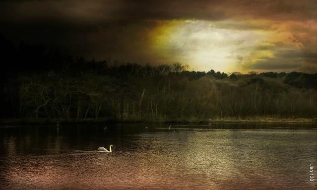 The Swan at Dusk