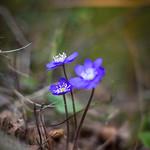 blåsippa-2 - av Pics by Susie J