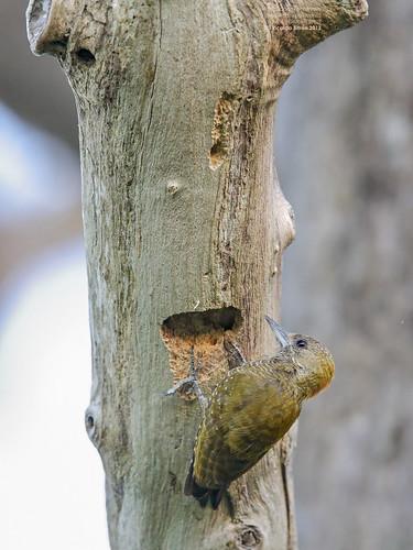 Little Woodpecker female (Veniliornis passerines) Pantanal, Mato Grosso, Brazil 2013