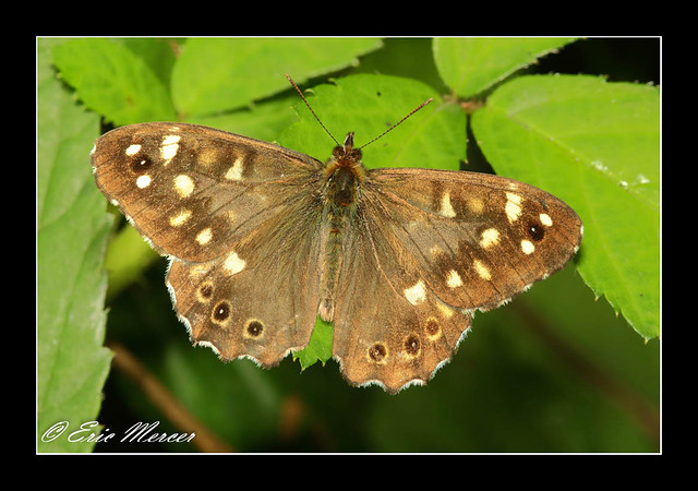 Speckled Wood - Pararge aegeria