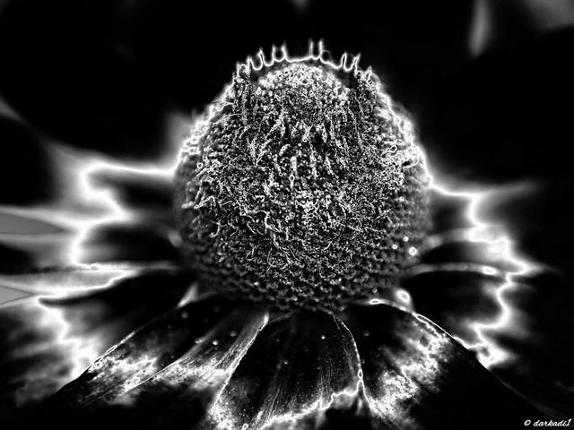 Rudbeckia hirta (Black & White Version)