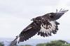 Taking off!! Golden eagle (Aquila chrysaetos) - Águila real (Aquila chrysaetos) by Juan María Coy