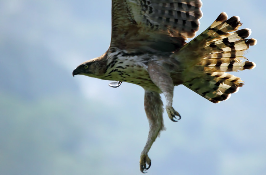 Crested Hawk Eagle In Flight Karthikeyan Shanmugasundaram Flickr