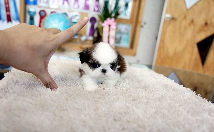 Adorable Teacup Shih Tzu Puppy Heres Amazing So Adorable Flickr