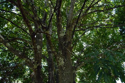 sapindaceae cupaniopsis cupaniopsisflagelliformisvaraustralis arfp nswrfp qrfp subtropicalarf canopy leaf trunk rustytuckeroo australiantrees australianrainforestplants bark nature plants treebark larnook northernrivers nsw australia