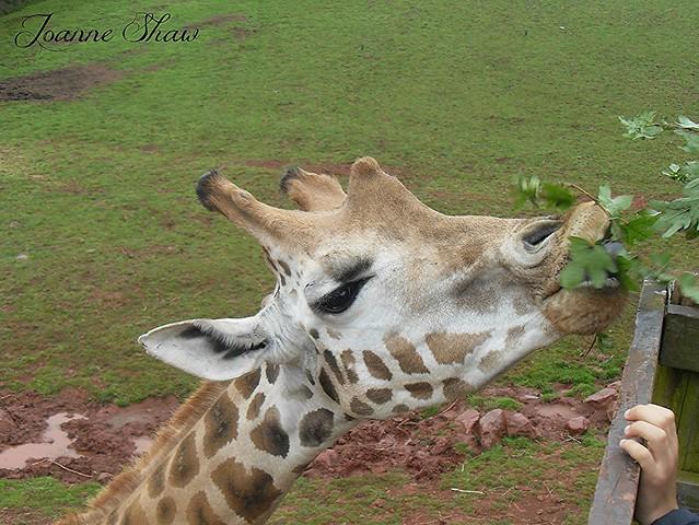 SDC10090 GiraffeN