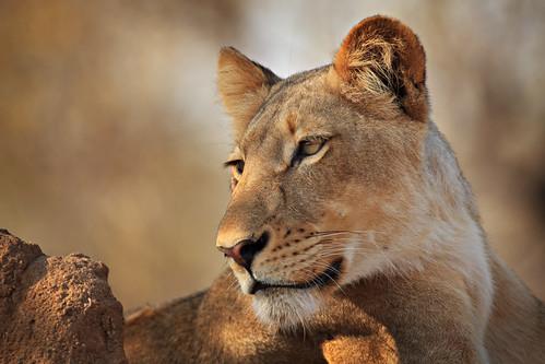 Majestic Timbavati Lioness