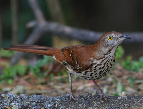 bird nature birds canon photography wildlife photographers northcarolina highpoint carolina ornithology thrasher brownthrasher canonef300mmf4l guilfordcounty canon300mmf4l photographersshowcase canon2ti canoneoskissx4 fazer53