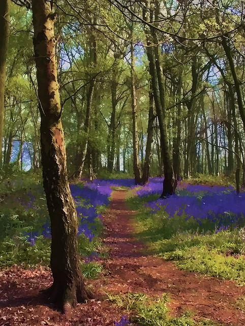 Bluebell wood.