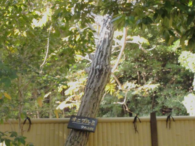 オニグルミ 東山動植物園