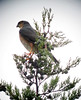 Accipiter striatus / Azor cordillerano / Sharp-shinned Hawk