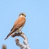 Falco Newtoni / Malagasy kestrel / Crécerelle malgache by François Dorothé