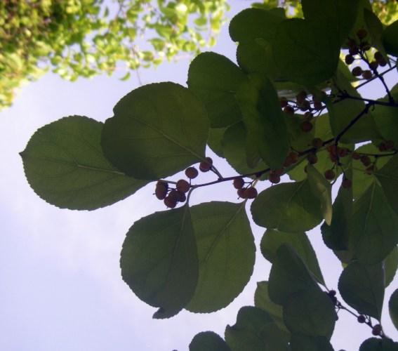 Celastrus rosthornianus 8233377019_de1eec2748_o