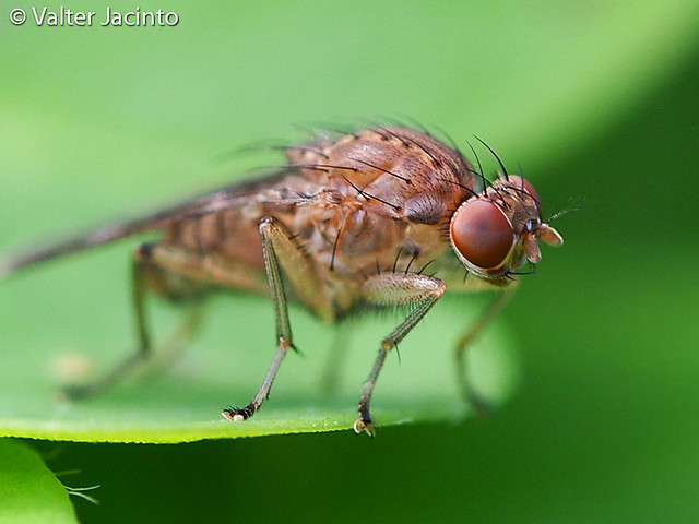 Mosca da família Heleomyzidae // Heleomyzid Fly (Suillia variegata)