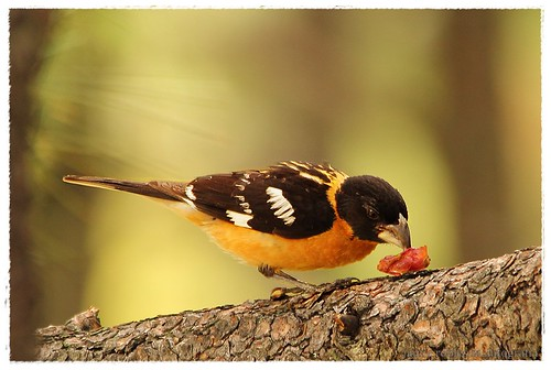 Picogordo Tigrillo. Black-headed grosbeak. Pheucticus melanocephalus3 | by Jaime Robles M.