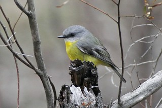 Eastern Yellow Robin (6113) Sm | by Friends of Chiltern Mt Pilot National Park