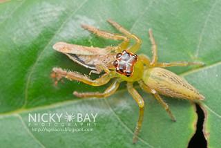 Jumping Spider (Artabrus erythrocephalus) - DSC_9837