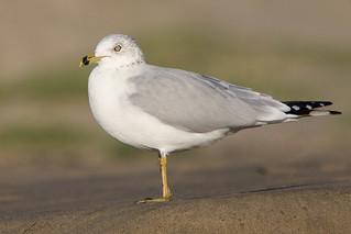 Ring-billed Gull (larus delawarensis) | by Pets4Dawn