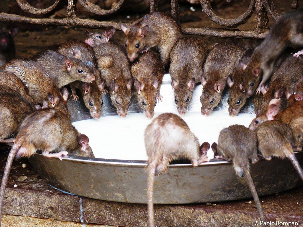 topi del tempio di Karni Mata