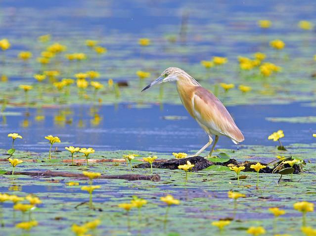 Squacoo Heron at Lake Kirkini Greece