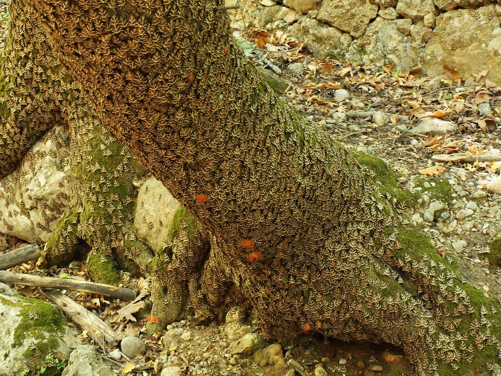 10,000 Butterflies - Jersey Tiger Moths are resting on an Oriental Sweetgum tree trunk