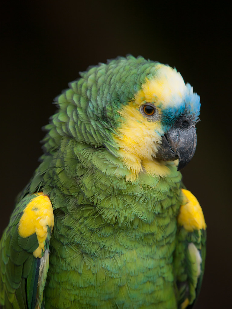 Blue Fronted Amazon Parrot Blue Fronted Amazon Parrot At P Flickr