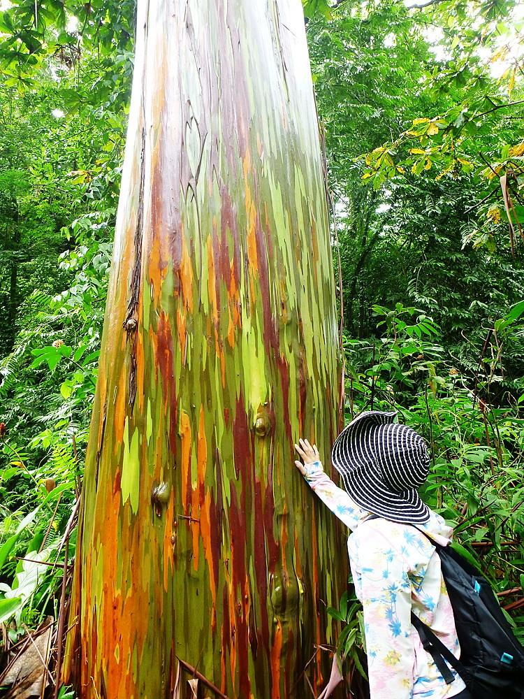 Rainbow Tree Photo By Tatsuro Murayama At Kosrae
