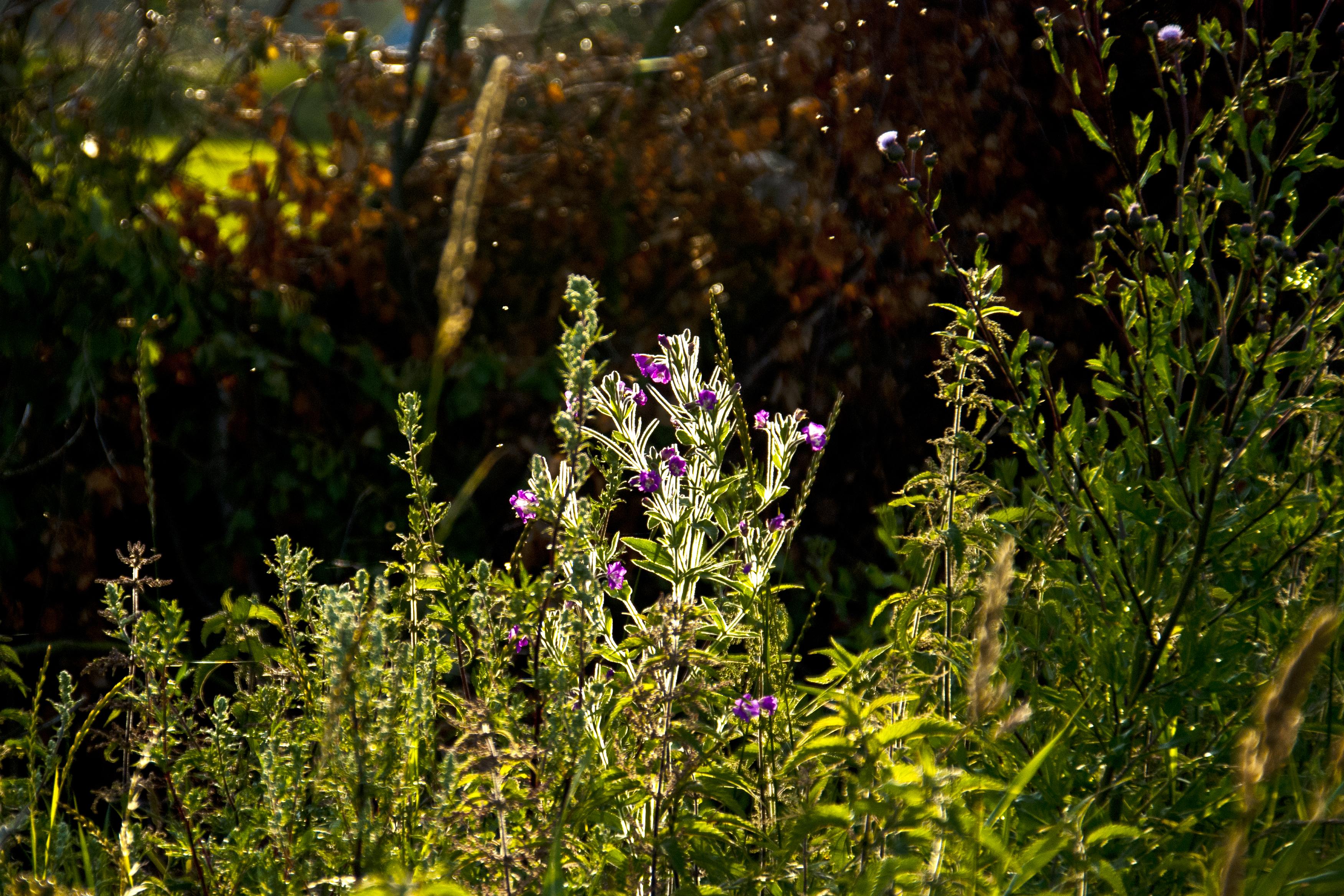 kvällsprom lysande växt