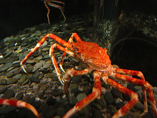 Big old crab