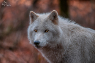 Portrait of an Arctic Wolf | by Tami Hrycak ッ