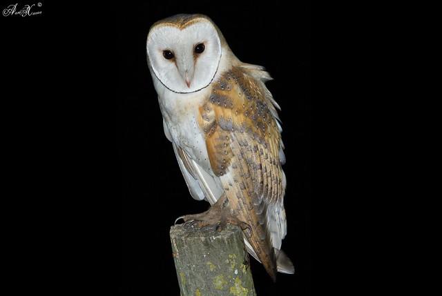 Coruja-das-torres,Barn Owl (Tyto alba) - em Liberdade [WilLife]