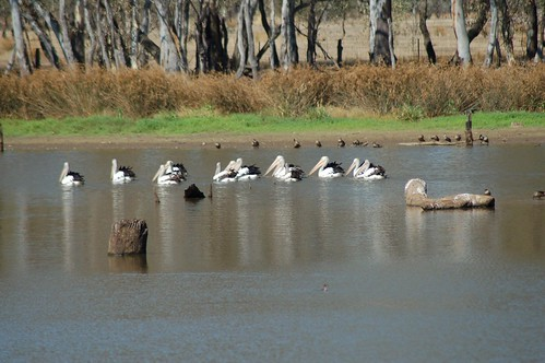 Pelicans Feb 3  09 | by Friends of Chiltern Mt Pilot National Park