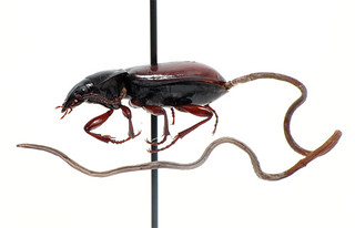 Pterostichus haematopus infested with a hairworm (Nematomorpha: Gordiida) | by TGIQ