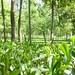 Jardin Wah à Kangra