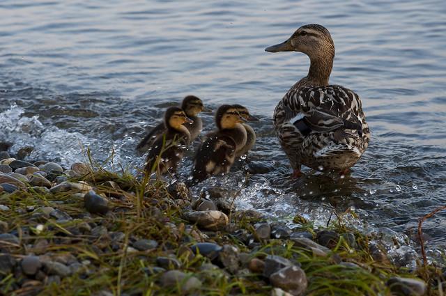 Enten am Bodensee