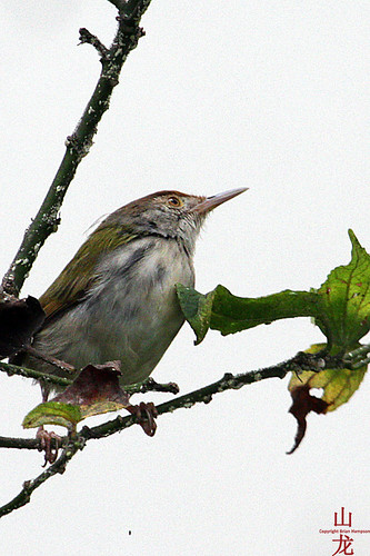 Common Tailorbird (Orthotomus sutorius) - was Unknown | by DragonSpeed
