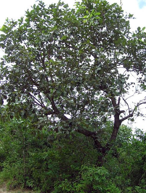 Quercus liebmanii Oerst. ex Trel. 1924 (FAGACEAE)