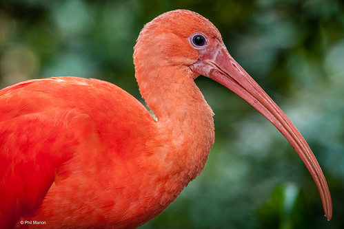 Scarlet ibis - native to Brasil | by Phil Marion (176 million views - THANKS)