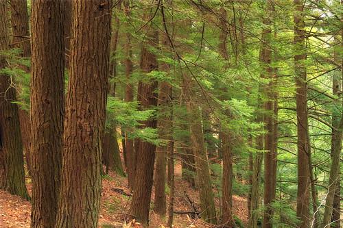 autumn trees nature forest hiking pennsylvania creativecommons ravine duff coniferous wyomingcounty hemlocks endlessmountains clintontownship tsugacanadensis easternhemlocks southbranchtunkhannockcreek countrysideconservancy littlerockyglen needleduff
