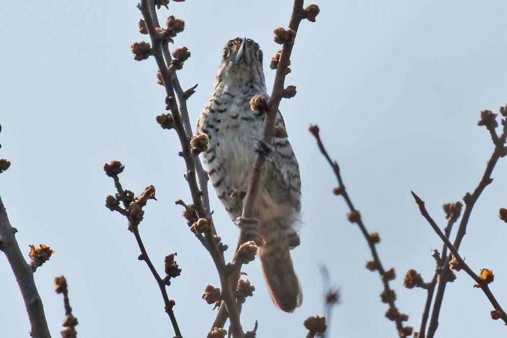 _W4A4138 White-barred Piculet (Picumnus cirratus)