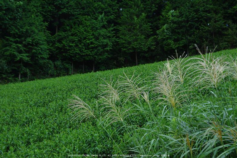 山添村,お茶畑(K70_1128,39 mm,F7.1,iso100)2016yaotomi