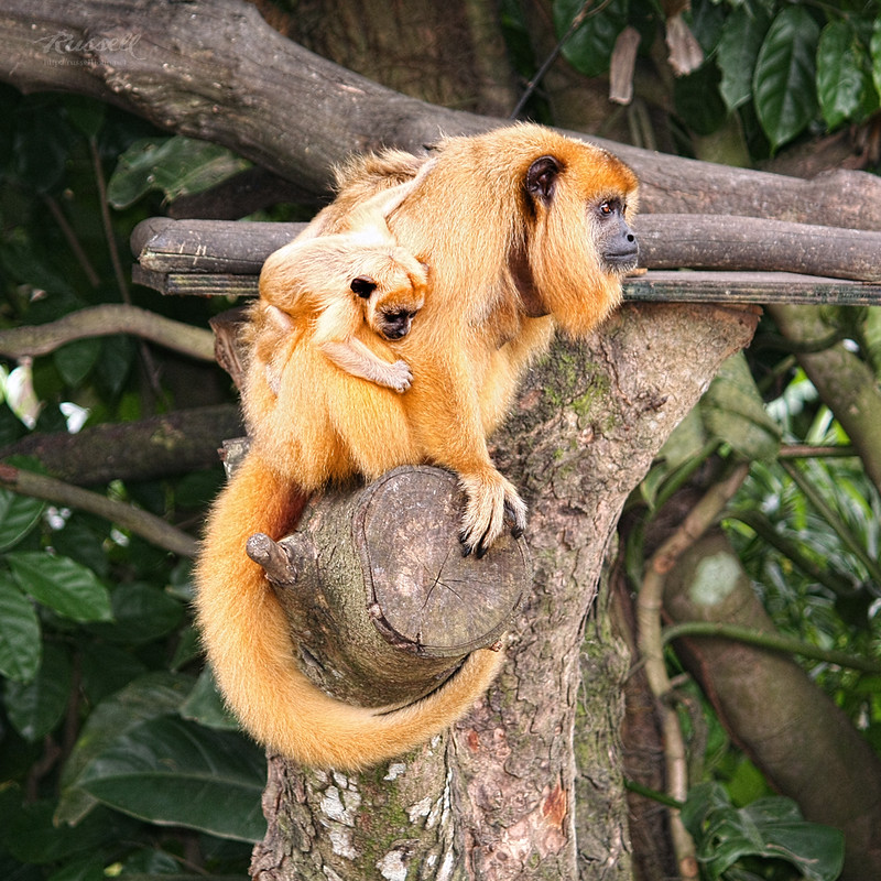 Female Black Howler Monkey With Baby