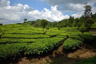 Tea Fields | by spiderman (Frank)