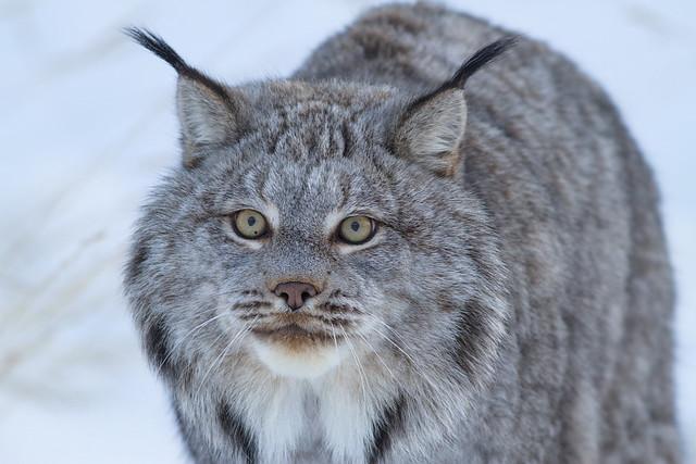 Lynx_IMG_2176