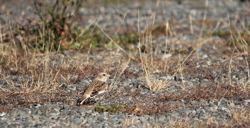 Snow Bunting | by Birding In New Jersey