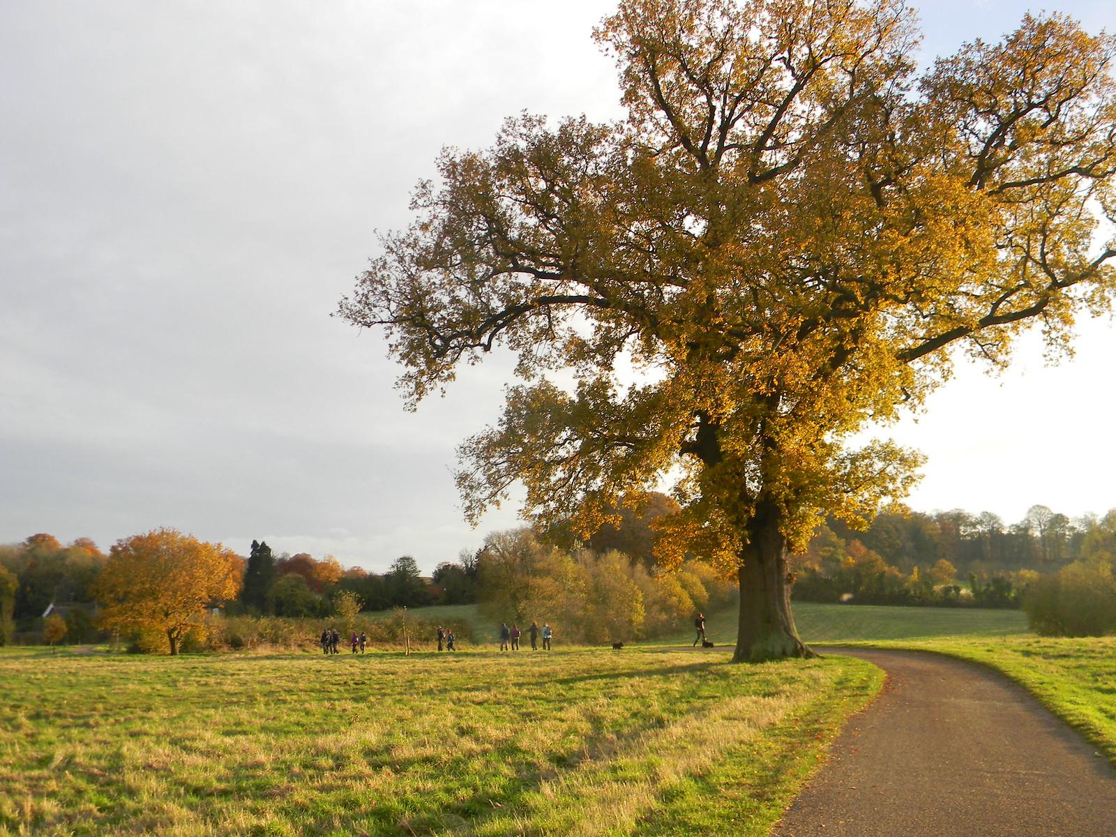 Stately tree near Hambleden Henley Circlular via Hambleden (short)