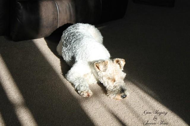 IMG_3821 Gem Sleeping in Sun