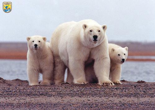 Polar bears, Arctic National Wildlife Refuge