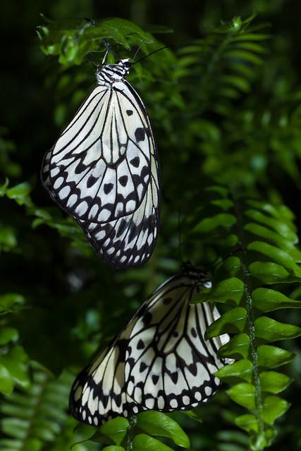 Butterfly Palace 8137
