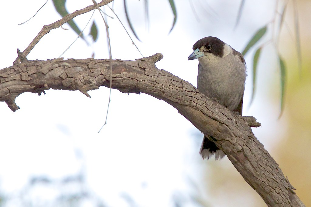Artamidae - Butcherbird, Grey
